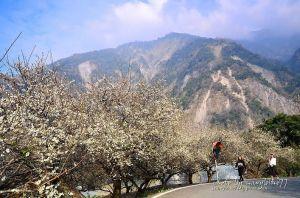 【南投】土場梅園-在大山襯托下的賞梅新境--順訪久美部落萬興關.千歲吊橋