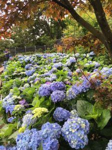 竹子湖繡球花 (青楓步道及頂湖)