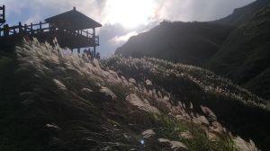 草嶺古道芒花被陽光曬的金光閃閃!
