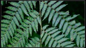 學習辨認四種桫欏科樹蕨:筆筒樹、臺灣桫欏、臺灣樹蕨、鬼桫欏