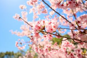 拉拉山的櫻花
