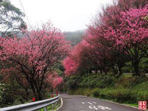 【新北市】汐碇公路櫻花風情