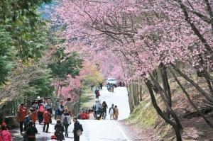 【新聞】武陵櫻花季 還有十多天