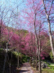 20110206八仙山賞櫻