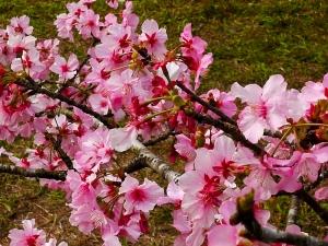 150125  小半天的櫻花