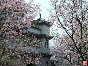【台北市】東方寺‧吉野櫻‧紫藤花