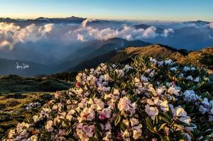 【台灣百岳之美】番外篇-高山杜鵑