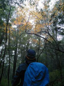 千年雄偉巨木 - 北得拉曼步道 內鳥嘴山