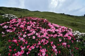 合歡東杜鵑 開好開滿 花開富貴