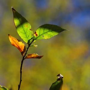秋戀黃金森林。太平山「山毛櫸國家步道」