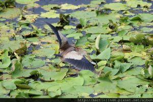 高雄鳥松濕地生態紀錄