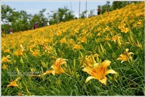【嘉義】全台最早金針花季-橫山屏休閒園區金針花海節開始了