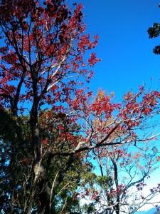 鳶嘴稍來槭葉紅
