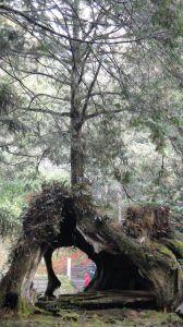 阿里山繞行神木群 20120126