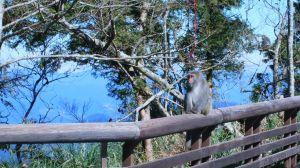 太平山的台灣獼猴