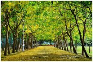 【台南】體育公園阿勃勒盛開.黃金雨隧道超吸睛