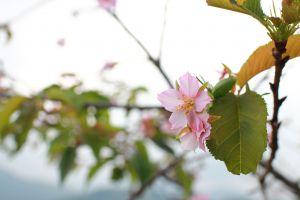 櫻花盛開小半天