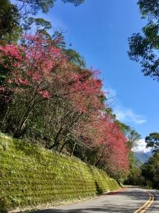 山櫻盛開喜迎春:奧萬大