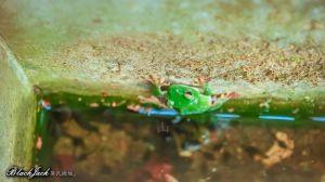 貓囒山的莫氏樹蛙
