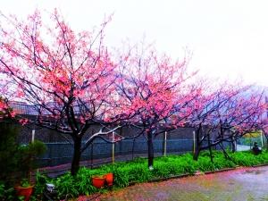 雨中寒櫻迎立春,狗殷勤古道賀新年