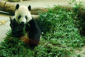 【動物】從貓熊圓仔看台灣黑熊保育
