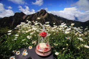 【南投】玉山主峰下 生命的花朵 生命的微笑