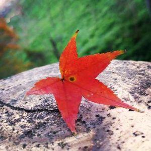 石門水庫楓葉紅