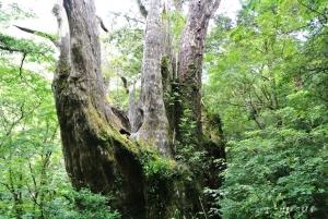 拉拉山巨木群@拉拉山自然保護區