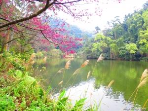 20150208~後慈湖~櫻花