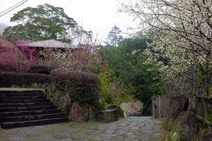 迷糊步道之白櫻花