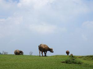 內寮橫越瑪礁內雙溪古道, 水牛草原上看牛吃草