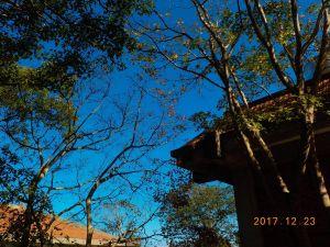 20171223石門楓槭落羽松