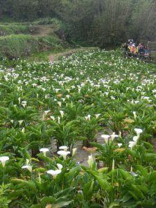 竹子湖海芋季