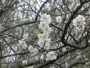 角板山梅櫻楓景