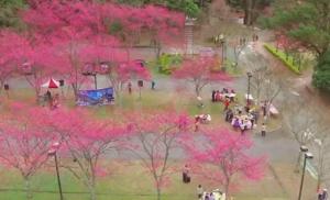 【新聞】動人美景 奧萬大櫻花林空拍直擊!