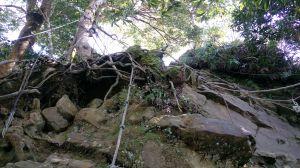 拉繩攀樹覓仙山