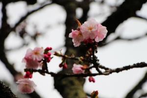 阿里山櫻花 唯美詩韻 ~ 高山+鐵道+神木+湖水 ...
