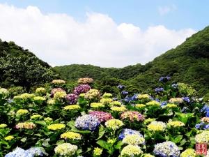 【台北市】2015陽明山竹子湖繡球花