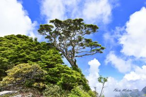 聖稜線上被遺忘的布秀蘭鐵杉