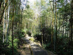 溪頭銀杏步道