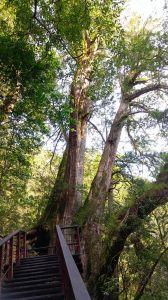 拉拉山(達觀山)神木群一日遊