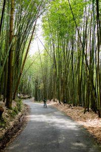 瑞里綠色隧道 -漫步林間,綠色竹林隨風輕擺