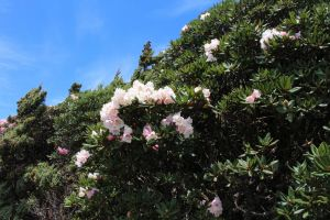 合歡山主峰杜鵑花盛開