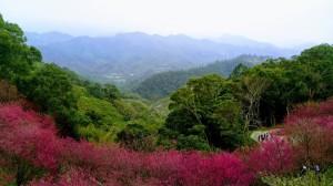 協雲宮的櫻花