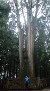 親近阿里山之鐵道櫻花巨木伴我行