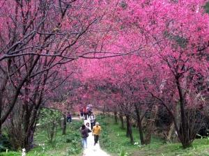 【路線】賞櫻秘境步道