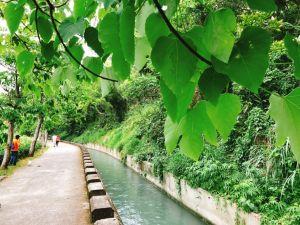 外埔~水流東桐花步道