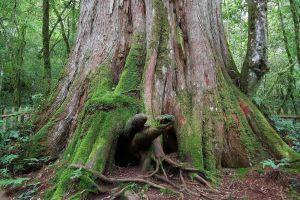 【岳世界】上帝的部落~鎮西堡-發現台灣最大神木群D3