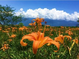 【植物】你知道金針花就是忘憂草嗎?