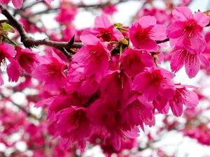 150201 新社櫻花